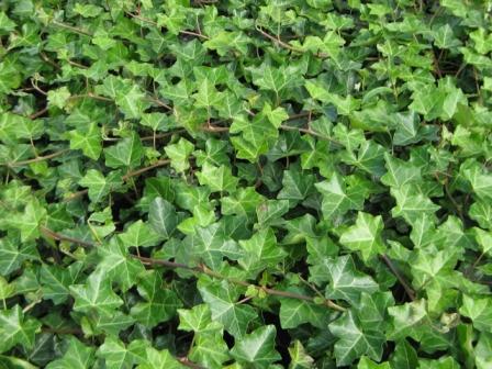 Plante cataratoare Hedera hibernica