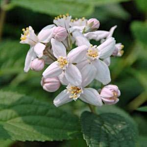 Arbusti gradina frunze cazatoare Deutziax hybrida Mont Rose