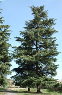 Arbori rasinosi Cedrus deodara cedru de Himalaya