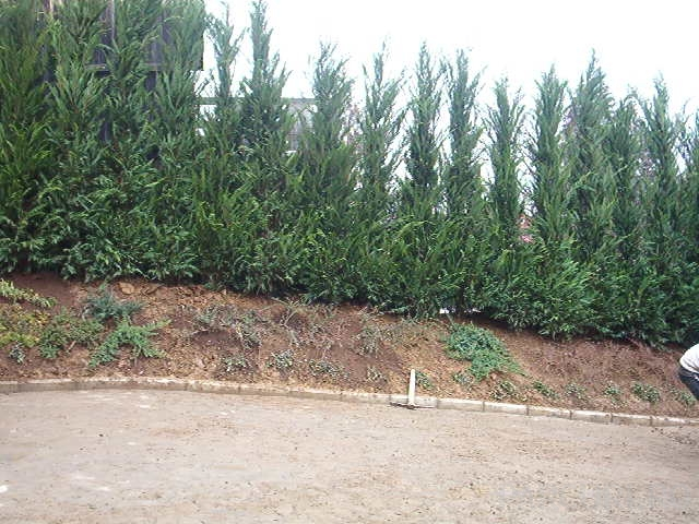 Gard viu rasinoase Cupressocyparis leylandii