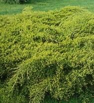 Arbusti rasinosi Juniperus media 'Old Gold'