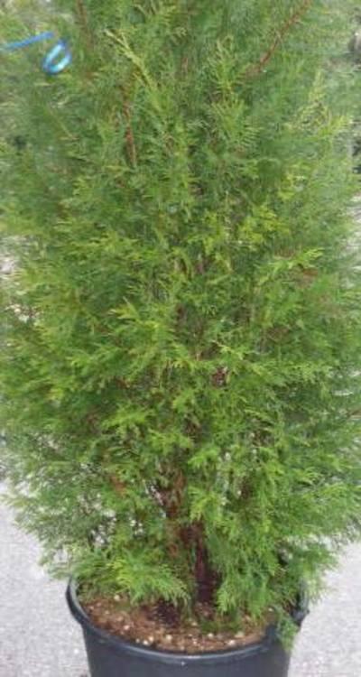 Gard viu rasinoase Cupressocyparis leylandii Pyramidalis