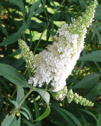 Arbusti gradina frunze cazatoare Buddleja davidii White Profunsion