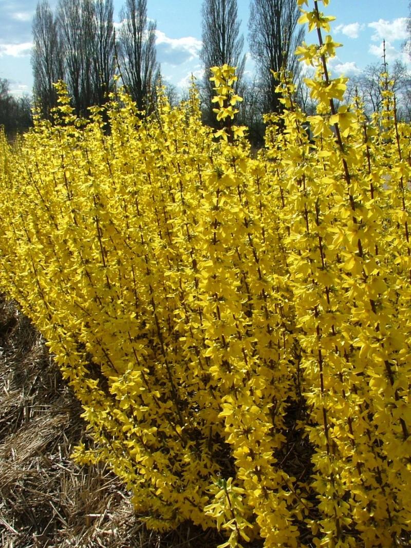 Arbusti cu flori Forsythia `Mini Gold`