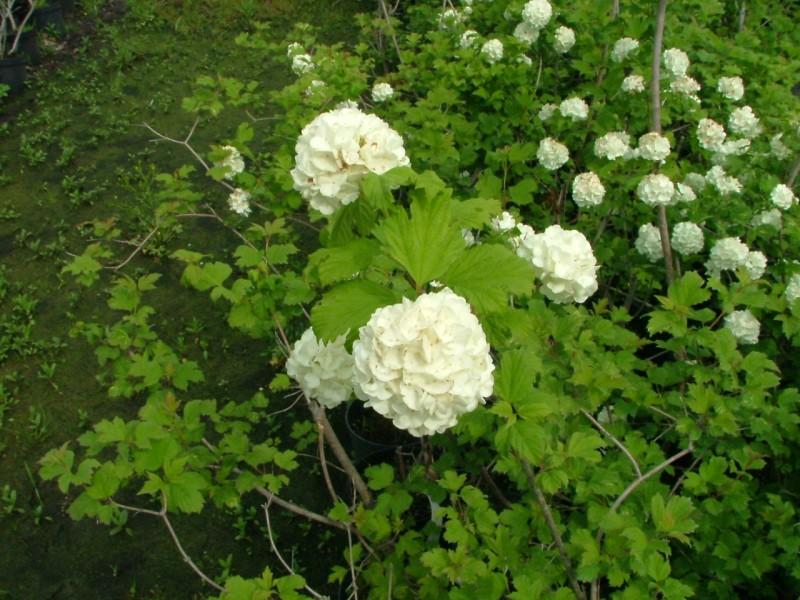 : Arbusti gradina frunze cazatoare Viburnum opulus Roseum (calin)