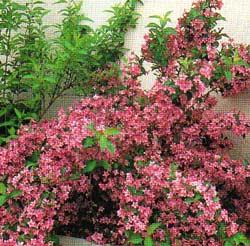 Arbusti cu flori Weigela