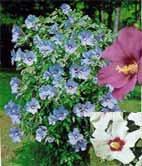 Arbusti cu flori Hybiscus syriacus