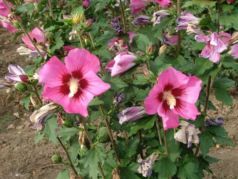 Arbusti cu flori Hybiscus `Rosa`