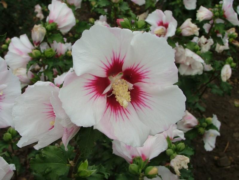 Arbusti cu flori Hybiscus `Red Heart`