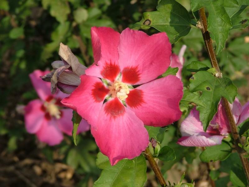 Arbusti cu flori Hybiscus `Woodbridge`