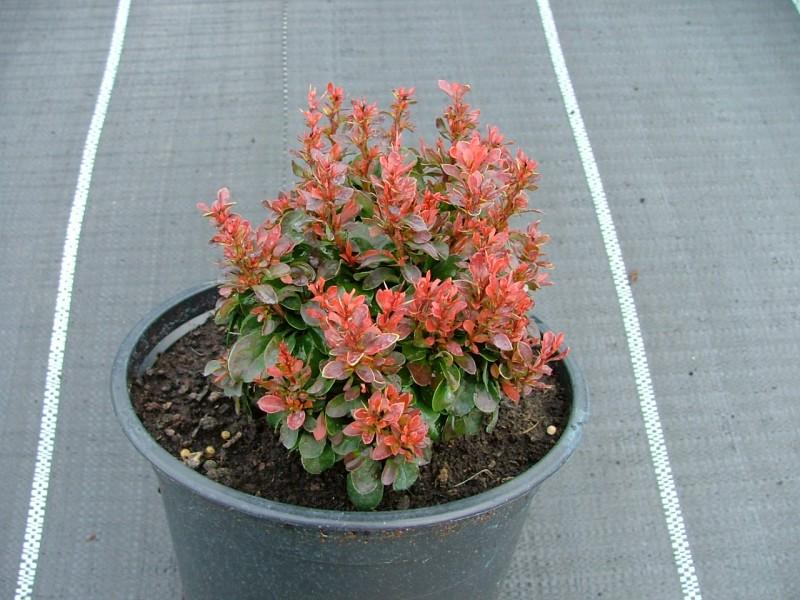 Arbusti pitici cu frunze rosii Berberis thunbergii Atropurpurea Nana la ghiveci de 3 litri