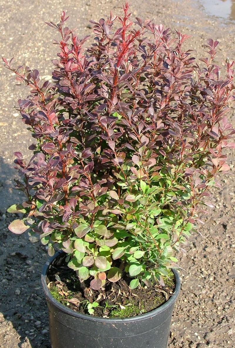 : Arbusti pitici cu frunze rosii Berberis thunbergii Bagatele
