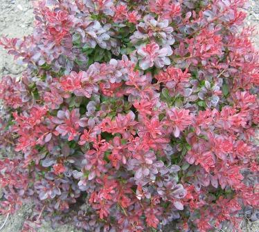 Arbusti pitici cu frunze rosii Berberis thunbergii Atropurpurea Nana