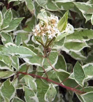 Arbusti foios gradina Cornus alba Elegantissima