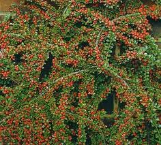 Arbust tarator Cotoneaster microphylla