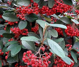 Arbusti foiosi gradina Cotoneaster lactaeus