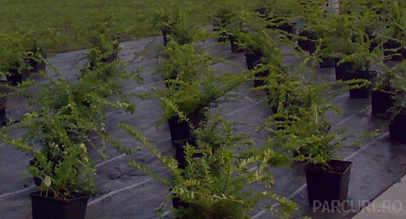 Arbusti foiosi taratori Lonicera pileata la ghiveci de 2 litri