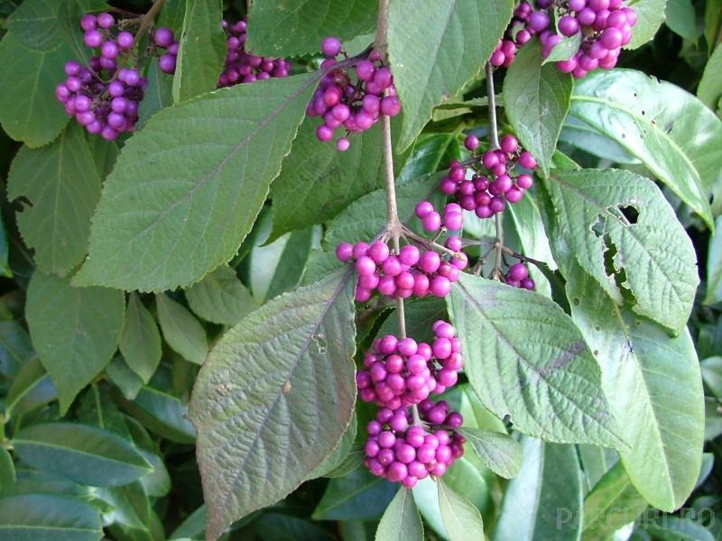 Arbusti gradina frunze cazatoare Calicarpa bodinieri
