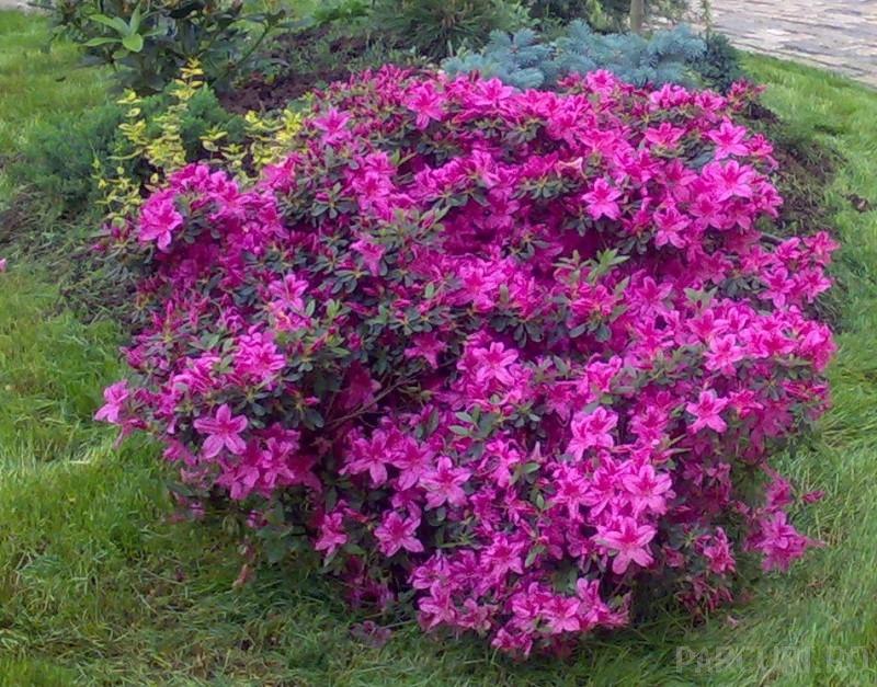 Arbusti cu flori Azalea japonica Amoena (violet-purpuriu)