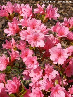 Arbusti gradina frunze cazatoare Azalea japonica