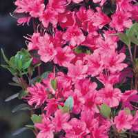 Azalea japonica `Rosa`