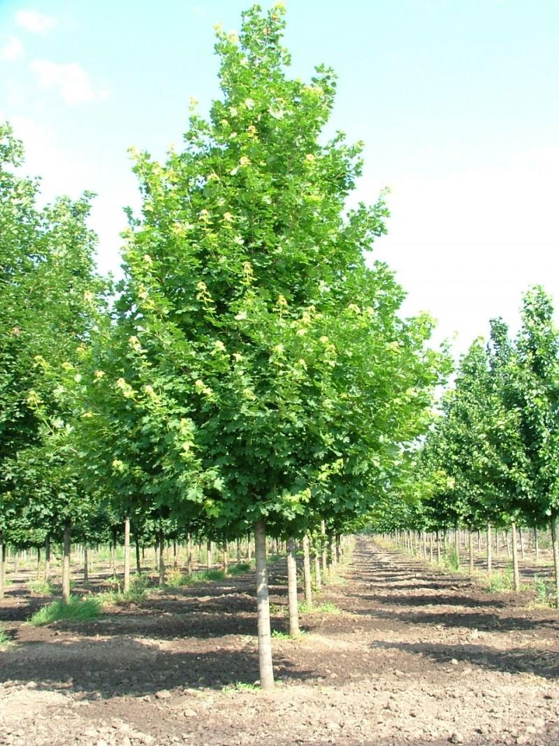 Acer platanoides Emerald Queen
