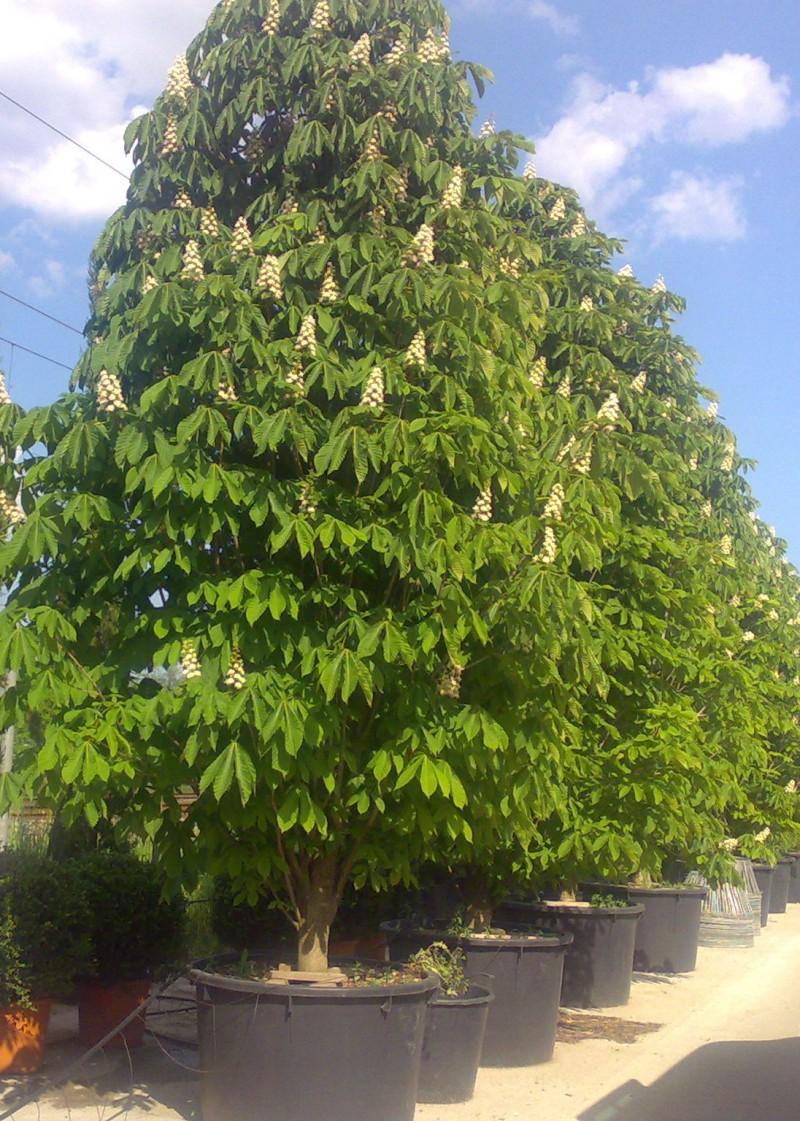 Arbori cu flori Aesculus hippocastanum Pyramidalis