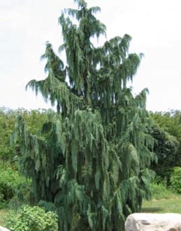 Arbori rasinosi CHAMAECYPARIA NOOTKATENSIS PENDULA