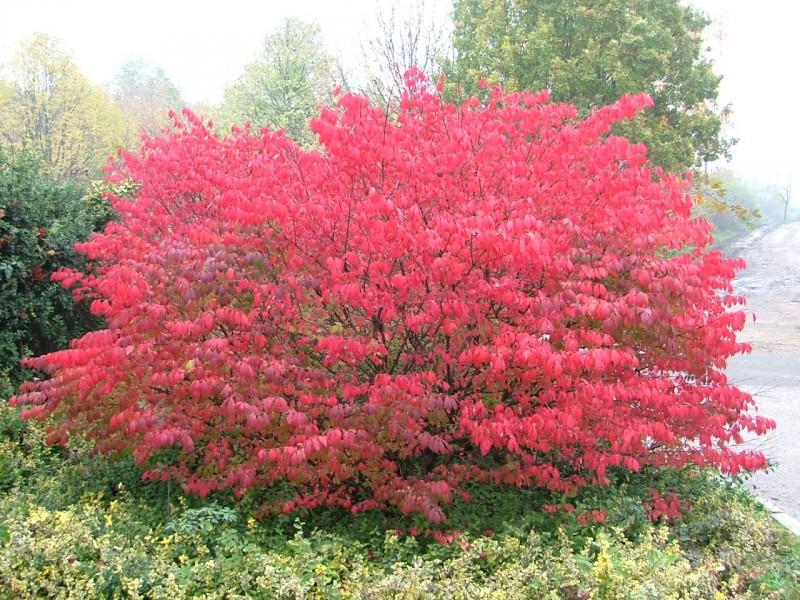 Arbusti decorativi prin frunze EUONIMUS ALATUS `COMPACTUS`