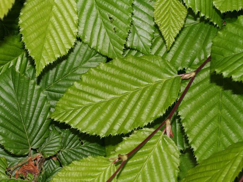 Arbori foiosi CARPINUS BETULUS (carpen) detaliu frunza