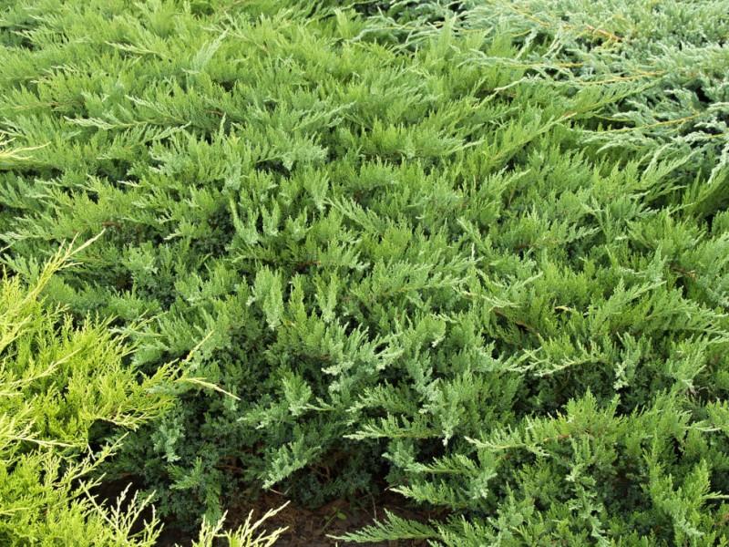 Arbusti rasinosi Juniperus sabina Tamariscifolia