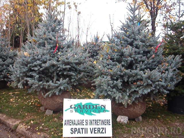 Picea pungens Barbits blue / Molidul argintiu