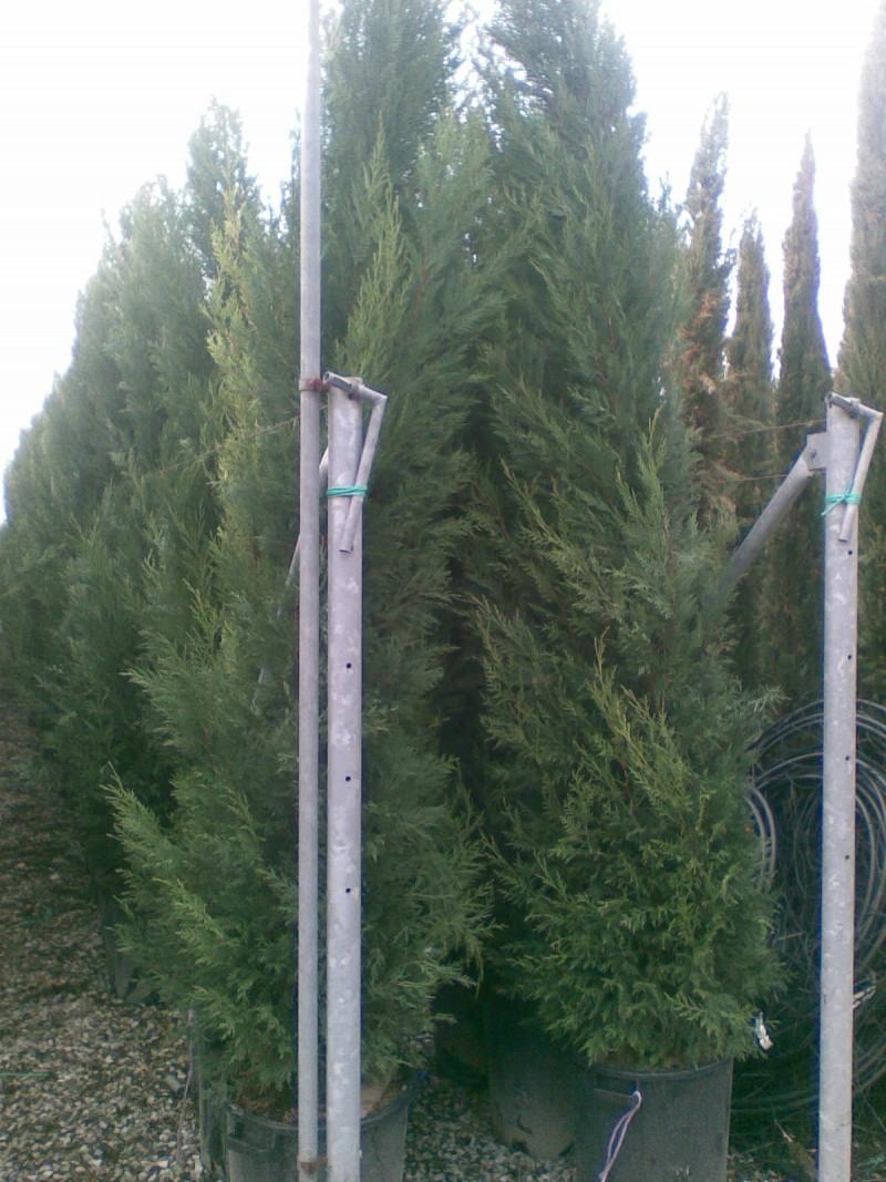 Cupressocyparis leylandii 2.5-3m