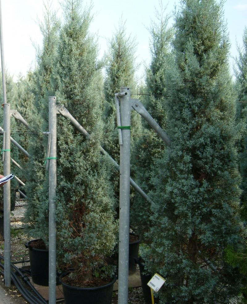 Cupressus arizonica Fastigiata 250-300