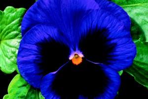 Viola witrokiana /Panselute