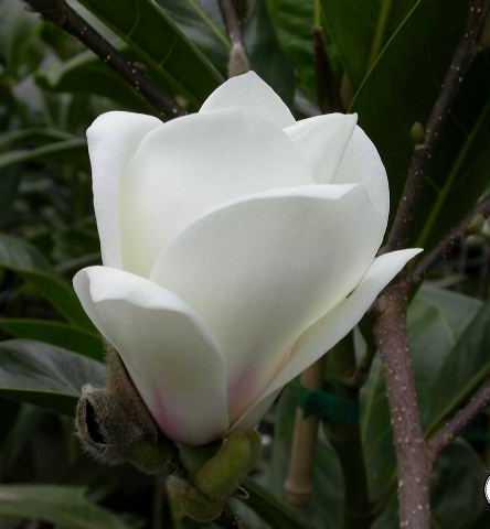 Arbusti gradina frunze cazatoare Magnolia Lennei Alba