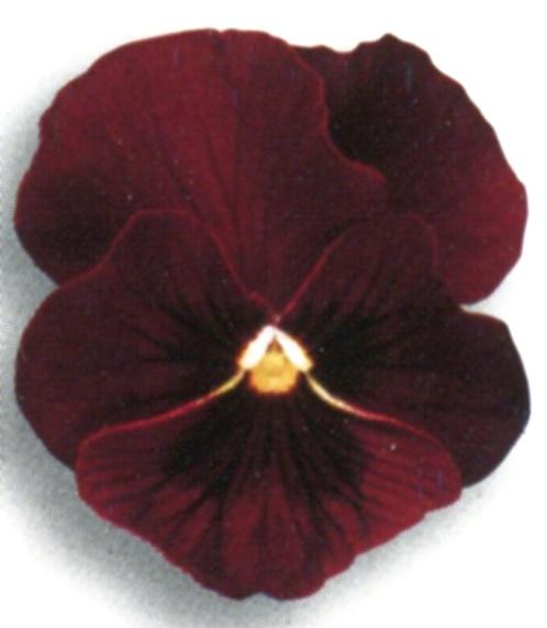Flori bienale: Viola witrokiana /Panselute