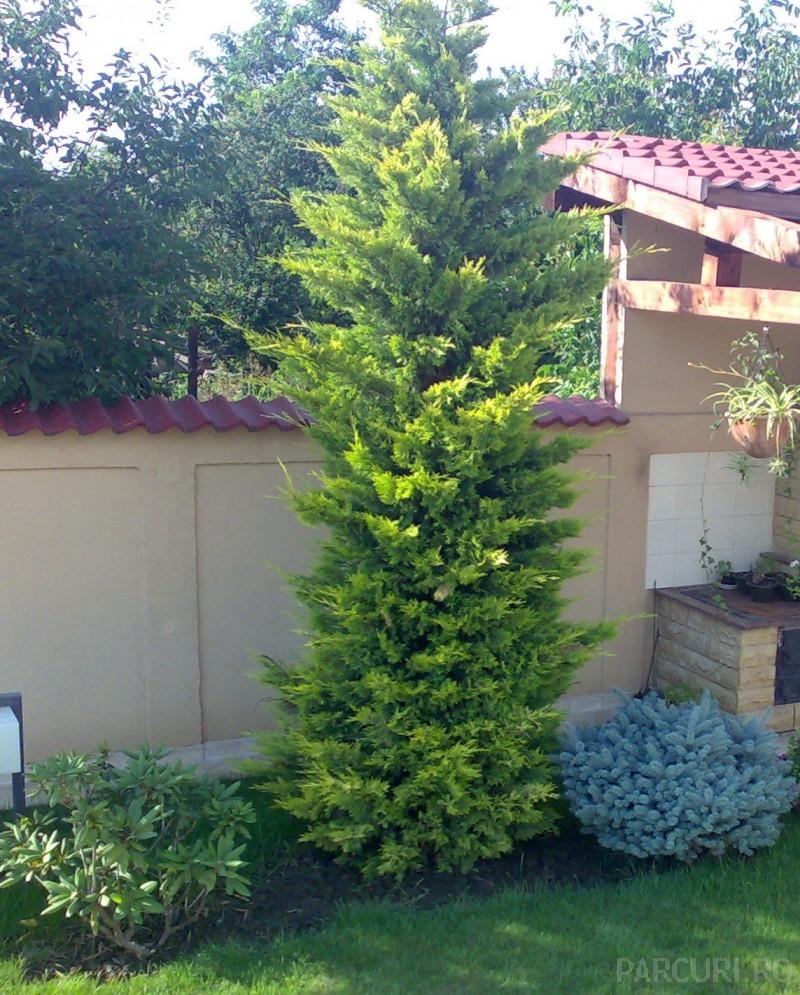 Cupressocyparis leylandii Gold Rider 3.5-4m