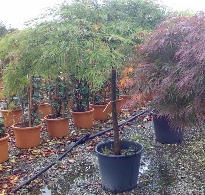 ARTAR JAPONEZ Acer palmatum `Dissectum Viridis`
