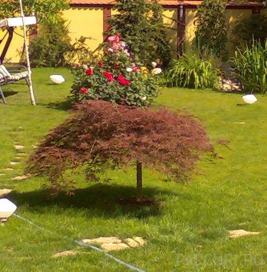 Acer palmatum `Dissectum Atropurpureum
