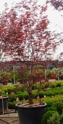 Arbusti gradina frunze cazatoare Acer palmatum Bloodgood (artar japonez)