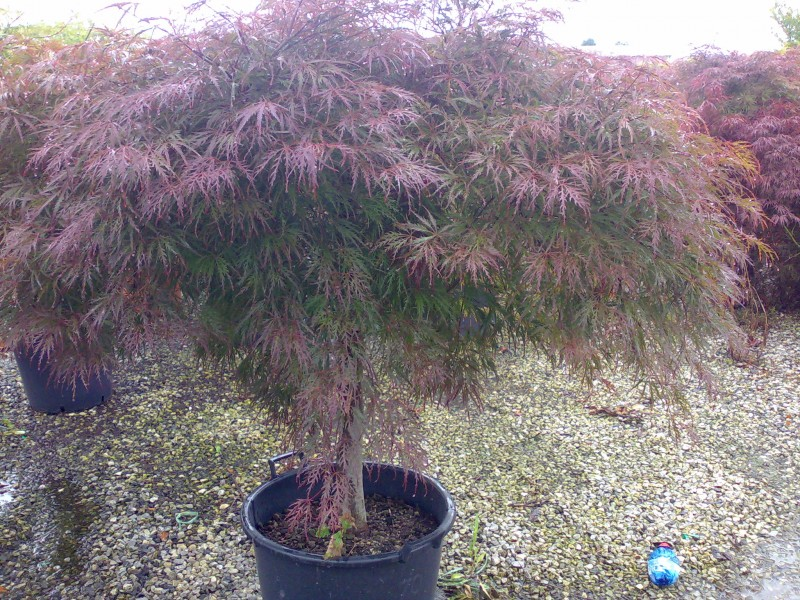 Acer palmatum `Dissectum Atropurpureum`