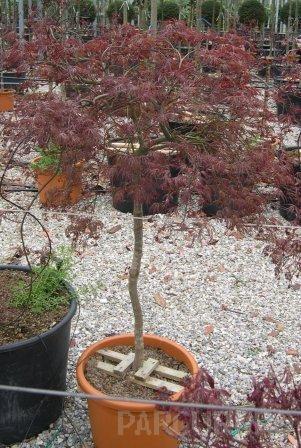 Acer palmatum `Dissectum Atropurpureum `