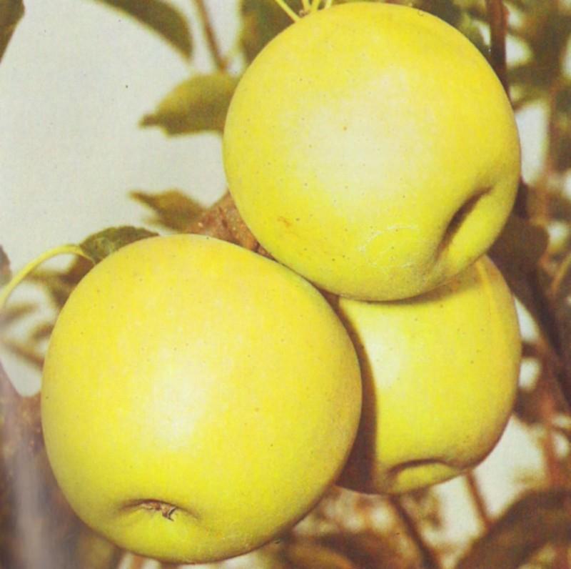 Pomi fructiferi de vanzare: mar soiul Golden Delicios.
