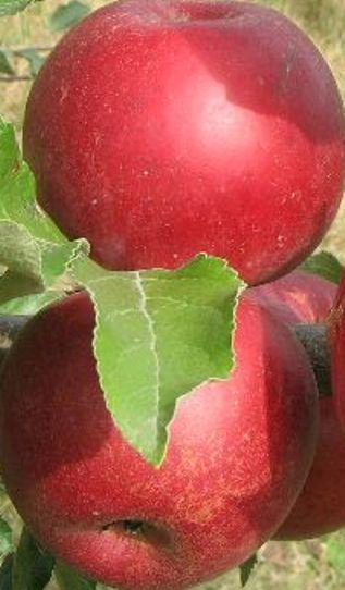 Pomi fructiferi de vanzare: mar soiul Ionatan.