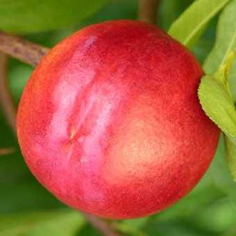 Pomi fructiferi de vanzare: Nectarini soi Nectared. Pomi fructiferi altoiti.