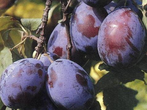 Pomi fructiferi Pruni soiul Tuleu Gras