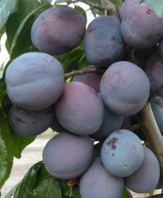 Pomi fructiferi Pruni soiul President Puieti fructiferi altoiti