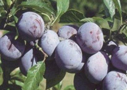 Pomi fructiferi Pruni soiul Anna Spath