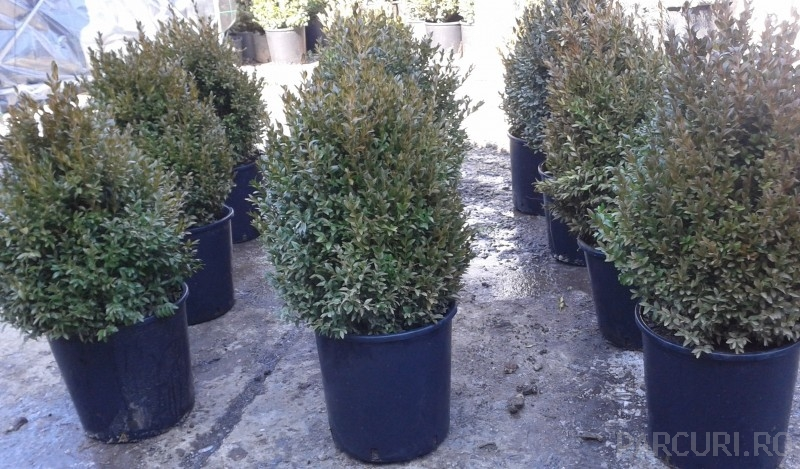 Buxus sempervirens - iarna